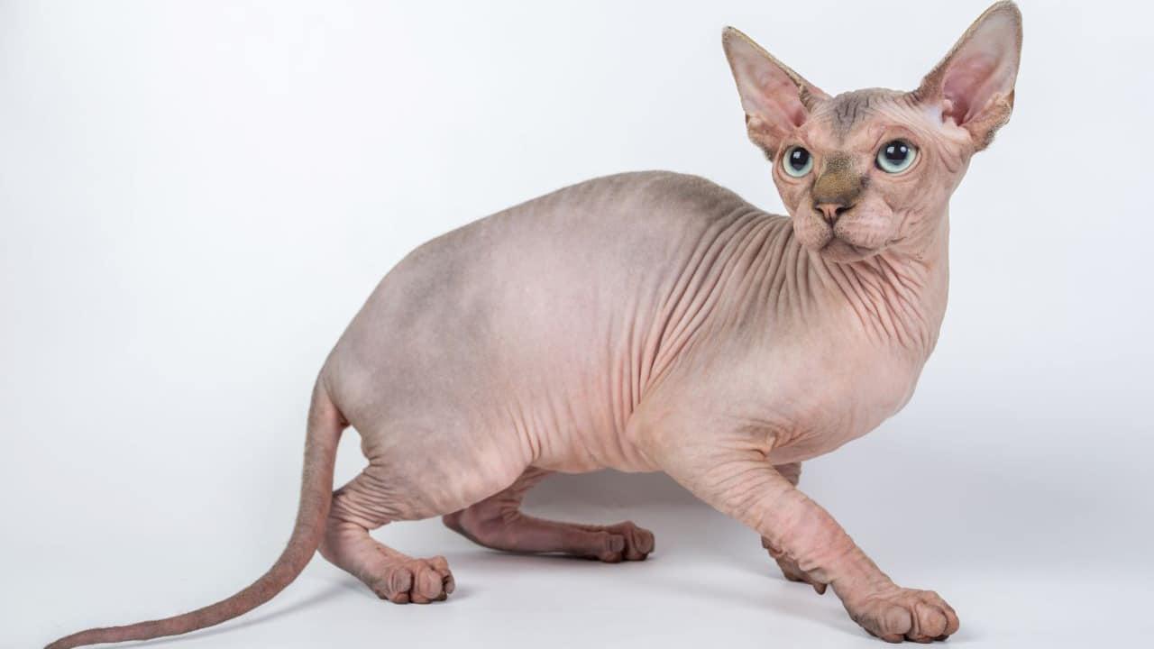 À quoi sert la médaille pour chat?